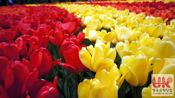 에버랜드와 비슷한 규모라고 하던데... 이곳에 튤립을 비롯한 엄청난 규모의 꽃들이 가득하답니다.